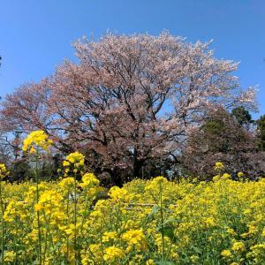 大俵桜と菜の花畑 (千葉県市原市) 2021年3月23日