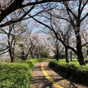 新堰公園 桜 (千葉県袖ケ浦市) 2021年3月26日