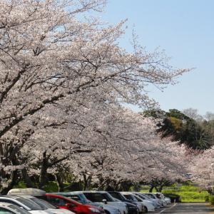 桜 袖ケ浦公園 (千葉県袖ケ浦市) 2021年3月26日