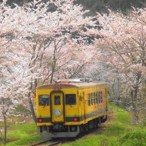 桜並木のトンネル いすみ鉄道 台湾ランタン列車 2021年3月30日 (千葉県夷隅郡大多喜町)