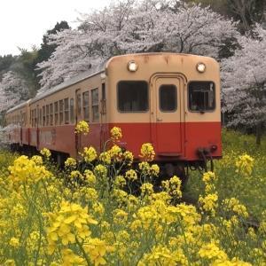上総大久保駅 桜と菜の花 小湊鉄道 2021年3月29日