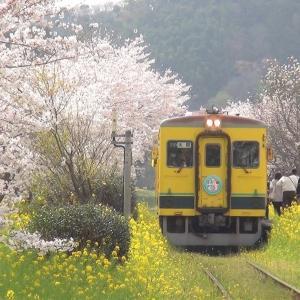 桜と菜の花 鯉のぼり 春の総元駅 / いすみ鉄道 2021年3月30日
