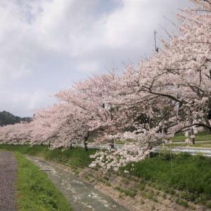 桜吹雪 札森さくら街道 札森地区桜並木 (千葉県いすみ市) 2021年3月30日