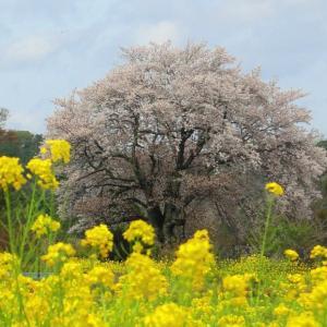里見の一本桜 与市郎桜と菜の花畑 (千葉県市原市) 2021年3月29日