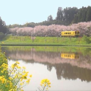 いすみ鉄道 新田野桜街道 桜並木と水鏡 2021年3月30日 (千葉県いすみ市)