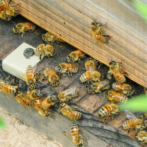 ミツバチの夏
