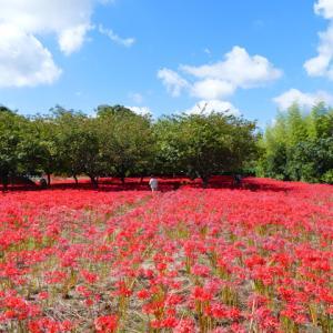 妙満寺 あたり一面深紅に染まる曼殊沙華(彼岸花) 千葉県勝浦市 2021年9月20日