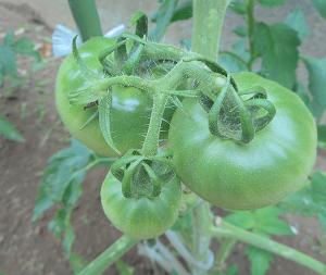 6月中旬 庭のトマトの様子 実がなってきました