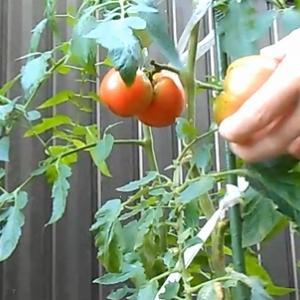 庭のトマトを収穫して食べた。それなりに美味しかった。