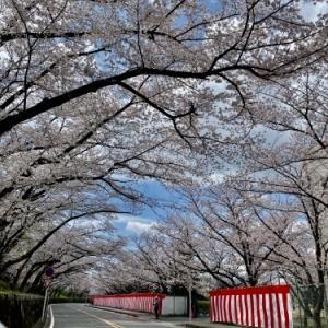 桜 いつもの年より恋しい