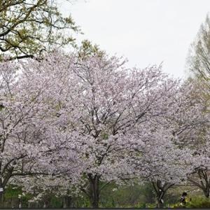 上尾丸山公園で野鳥観察(2021/04/03)