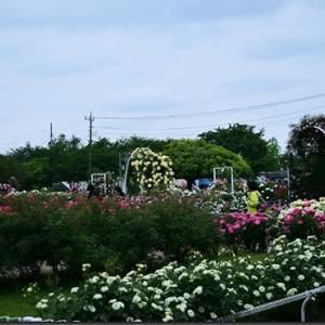 伊奈町のバラ園(2021/05/13)