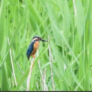 野鳥観察:北本自然公園のオオヨシキリなど(2021/06/22)