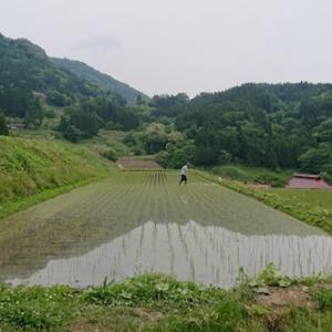 田んぼの除草が2巡目に入りました。