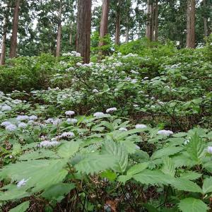 コアジサイを見に東吉野に行ってきました