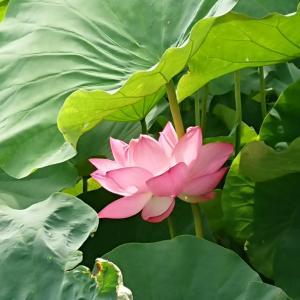 蓮の花を見に行きました~京都の東福寺、東寺