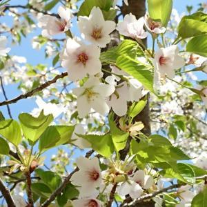 オオシマザクラ~日本の花のエッセンスのお花を見に行きました