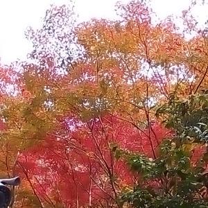 11月19・20日の献立と神峯山寺の紅葉