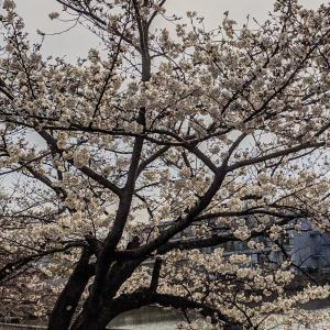 桜が満開?です。