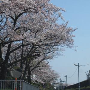 葛飾区西小菅公園のさくら満開です。