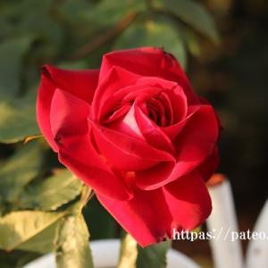 温かいそよ風とトキメキの赤いバラ!