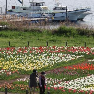 足立区の河川敷に美を競う「チューリップの花」?