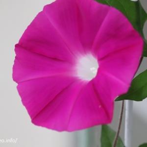 足立区某マンションベランダに朝方美しく花開く!