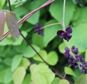 奇妙な花シリーズ  アケビの花