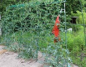 スイカの立体栽培に挑戦