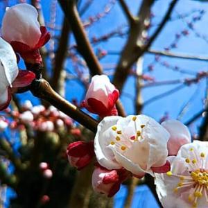 今日、晴れたからなのか、アンズ咲きはじま~る・畑えもん通信