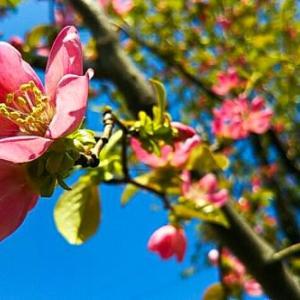 かりん、いっぱい咲いと~る…柏原芳恵の「花梨」のレコード持っと~る・畑えもん通信