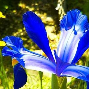 今月連日訪問者400人越え、とは関係なく青いアイリス咲いと~る・畑えもん通信