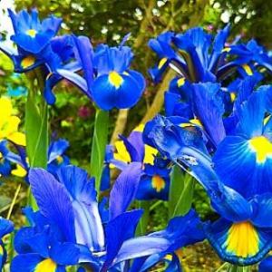 青いアイリスいっぱい咲いと~る・畑えもん通信