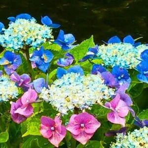 色が変わりゆく途中なのか…散歩道の紫陽花であ~る・畑えもん通信+