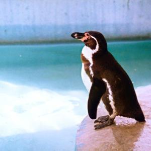今回の〝トリ〟もやっぱコレ! わし流どうぶつえん平成編⑤フンボルトペンギン(羽村市動物園1998秋)