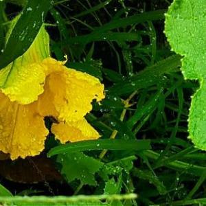 雨の中で、カボチャの花が咲いと~る・畑えもん通信…とは関係なく新日プロの矢野VS高橋戦面白かったネ