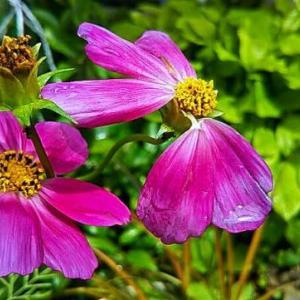 コスモスさらに咲いと~る…「「畑えもん通信」有料記事にグレード制導入