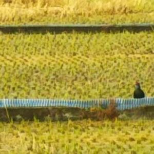 数か月ぶりに田んぼにオスのキジが出現、「ケーン」と鳴いて飛ぶ…畑えもん通信+