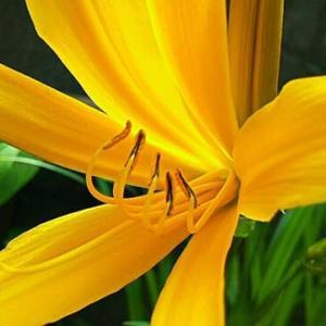 ニッコウキスゲは1日しか咲かないんであ~る・畑えもん通信