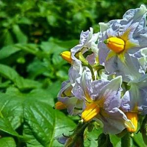咲き始めたジャガイモ(男爵)の花は「向こう側の連中」多面監視塔だった!! 畑えもん通信