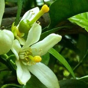みかんの花が咲いと~るのを複数の「向こう側の連中」が見と~る・畑えもん通信…今週の「ウルトラQ 4K」富士山に連中が出現してたね