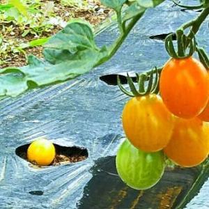 ミニトマト色付きだ~すのを誰かが見ているようにみえ~る・畑えもん通信