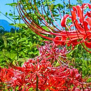大岳三十六景㉟彼岸花越しの大岳山