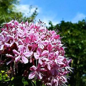 たぶん紫陽花、9月なのにまだ咲いと~る・畑えもん通信+