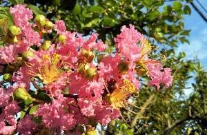 もう咲かないのかとおもってたら、いつのまにか百日紅咲いと~る・畑えもん通信