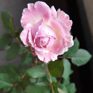マリーヘンリエッテが咲きました♡