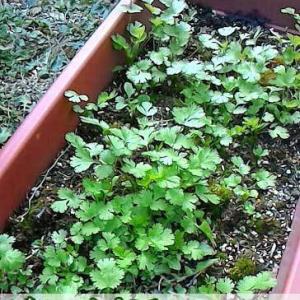 パクチー栽培冬から春にかけて