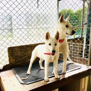 スクスク成長中の白い和犬3号。