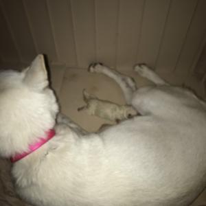 白い和犬1号。2匹無事出産しました。
