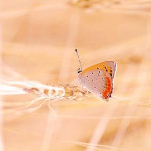 べにしじみ蝶